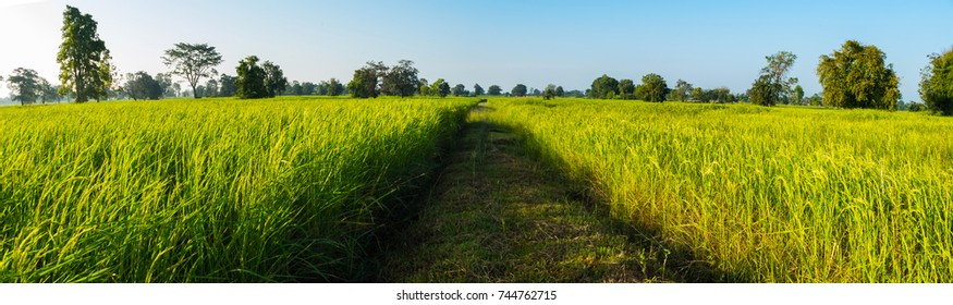 Panorama Rice Field of Farmer and sunlight in nature the morning,in Thailand