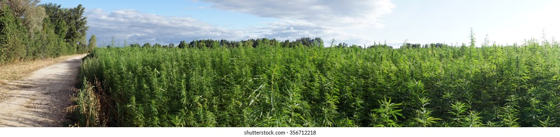 Panorama of road and field with marijuana
