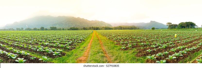 Panorama road in the tobacco field in the sunset time. with man riding motorcycle.