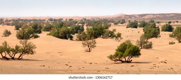 Panorama of sand dunes and trees in Sahara desert, Africa