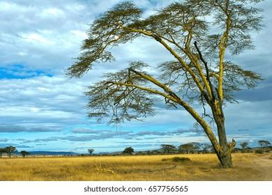 Panorama of savannah in serengeti national park with a bush isolated Acacia
