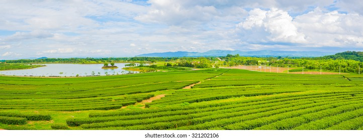 panorama shot image of Tea field at Boon Rawd Farm is one of the largest tea produce in Thailand ,Chiang Rai