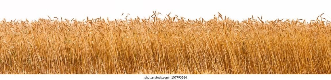 Panorama shot of a wheat plantation