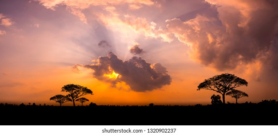 Panorama silhouette tree in africa with sunset.Tree silhouetted against a setting sun.Dark tree on open field dramatic sunrise.