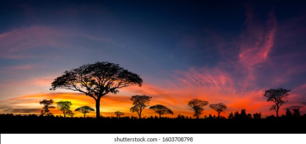 Panorama silhouette tree in africa with sunset.Tree silhouetted against a setting sun.Dark tree on open field dramatic sunrise.Typical african sunset with acacia trees in Masai Mara, Kenya