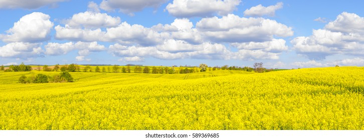panorama Spring field in high resolution, blooming rape, blue sky