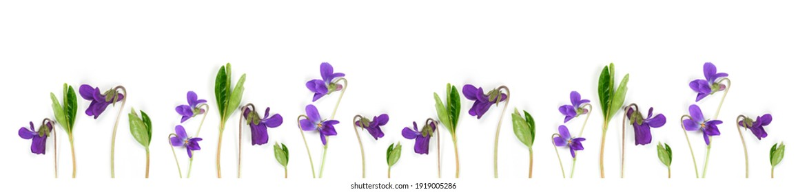 Panorama spring flowers pattern. Flowers wild violets pattern on a white background. Full Bloom trend. Flat lay style.