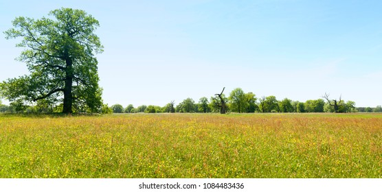 panorama of spring meadow, panoramic landscape with big oak, yellow flowers and blue sky