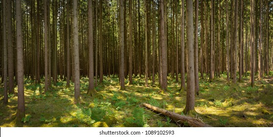 Panorama of a Spruce Forest on a sunny day