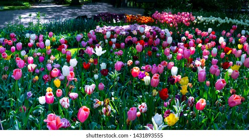 Panorama - stunning range of tulips of all colors. This gigantic cluster of exotic dutch tulips of virtually all colors under the sun, looks spectacular. A very happy sight indeed. Nature at its best