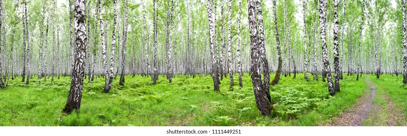 panorama summer landscape with birch forest. panoramic view with birch woods