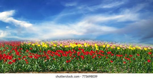 Panorama summer scene tulip field blossom on sunny day.