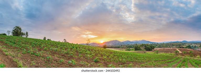 panorama of sunrise over cassava field and mountain