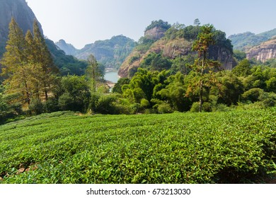 Panorama of tea fields and mountains in Wuyi mountains park in China