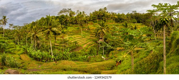 Panorama of Tegallalang Rice Fields in Ubud, Bali, Indonesia