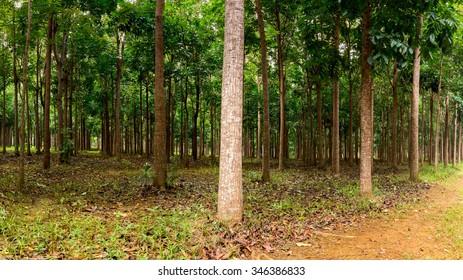 Panorama of trunks in plantation of Mahogany trees in Kauai, Hawaii, USA
