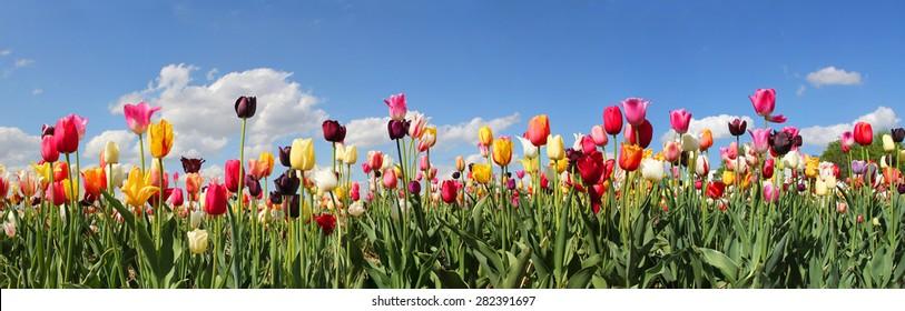 Panorama-Tulpenfeld mit verschiedenen Typen und Farben