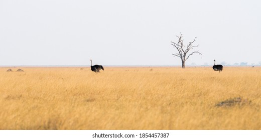 Panorama of two common ostrich (Struthio camelus) standing in the grassy plains of Savuti