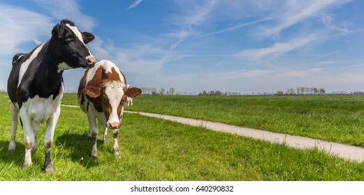 Panorama of two Holstein cows in a meadow near Groningen, Holland