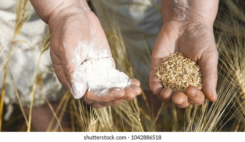 The panorama of  two old hands are holding the flour and the wheat grain