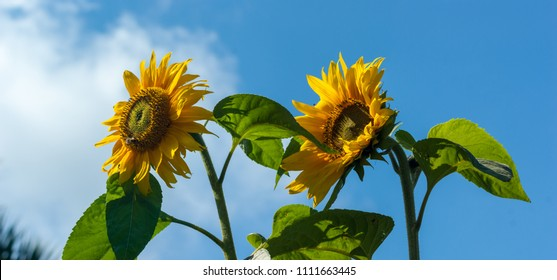 Panorama of two Sunflowers (Helianthus) with insects against a blue sky
