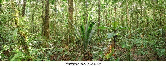 Panorama of understory vegetation in pristine tropical rainforest in the Ecuadorian Amazon with a backlit Geonoma palm in centre of image.