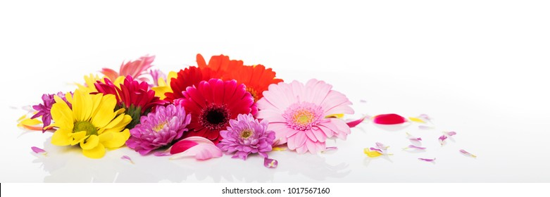 panorama with various flowers in front of white background, chrysanthemums in red yellow purple and pink
