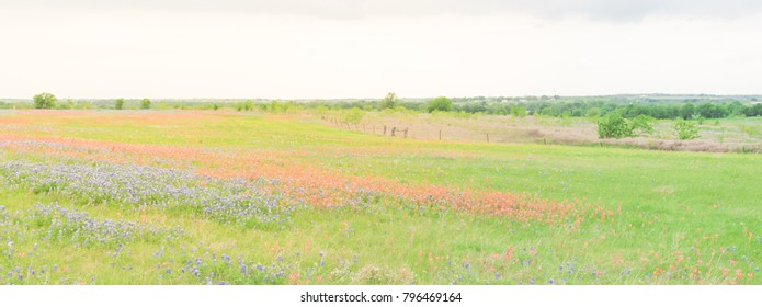 Panorama view colorful wildflower fields blooming with rustic fence in background. Beautiful full blossom meadow of Bluebonnet, Indian paintbrush (or Castilleja indivisa) in Hill Country Texas, USA