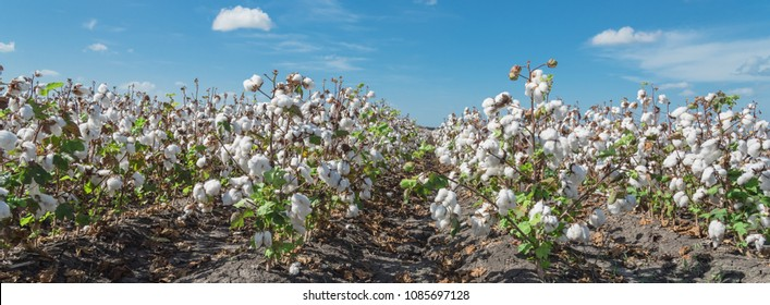 Panorama view cotton fields ready for harvesting under cloud blue sky in Corpus Christi, Texas, USA. Agriculture and industrial background. Cotton bolls and stalks crop