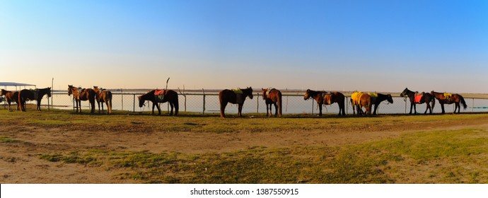 Panorama view of Horses waiting for a horseback-riding traveler in the grasslands,Zhang Bei grassland, Heibei, China