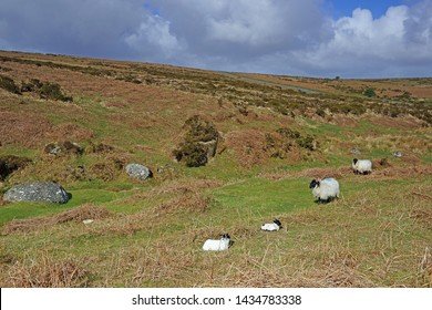 A Panorama view of the landscape of Dartmoor in summer with sheep and their lambs resting and grazing, Dartmoor National Park, Devon, UK