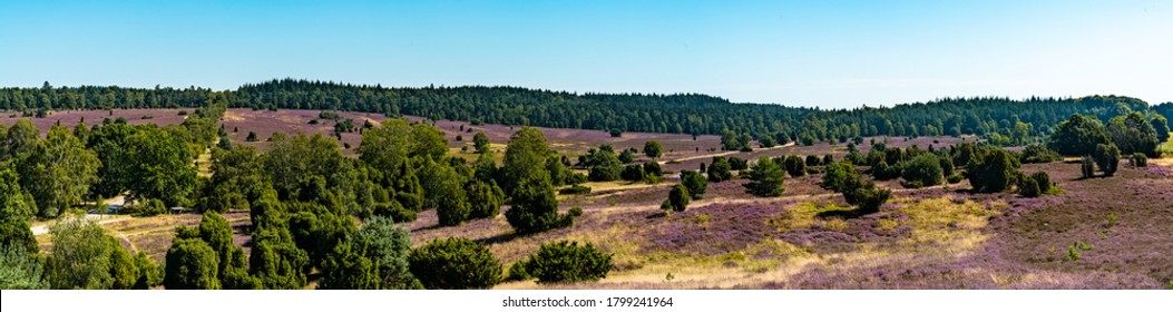 A panorama view of lilac heath landscape on the Lunenburger heath