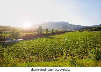 Panorama view on vineyards near Alushta. Summer sunset with clear blue sky. Crimea, Russia.