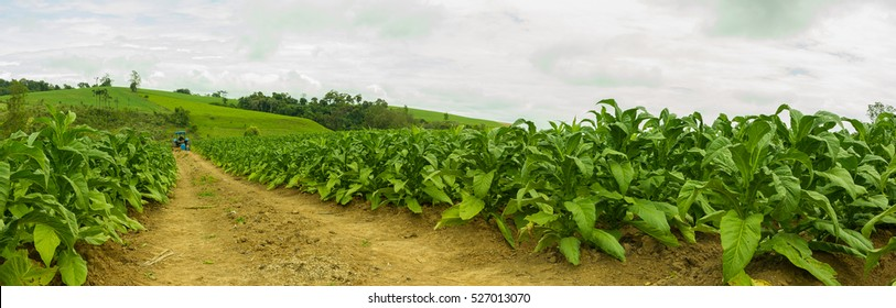 Panorama view of tobacco plantation and road with blue tractor