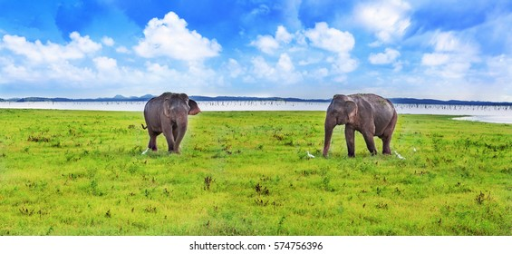 Panorama view with two elephants in Sri Lanka