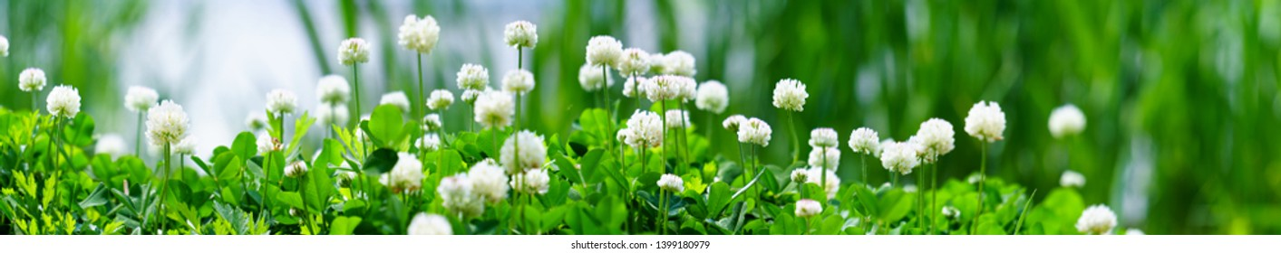 Panorama view of white clover flowers on green color bokeh background