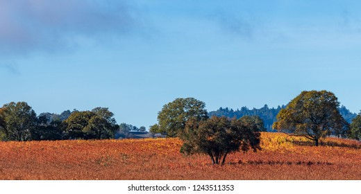 Panorama of a Vineyard with Oak Tree with Fall color., Sonoma County, California, USA