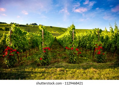 Panorama of vineyards and the roses in Burgundy. France