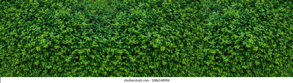 Panorama of the wall consisting of thousands of leaves, decorates, protects against noise and glances of passers-by.