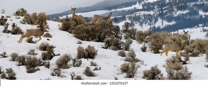 Panorama of watchful Mule Deer jumping in early morning at Jardine Road Gardiner Montana in winter
