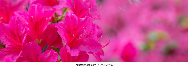 Panorama or web banner with pink azalea flower on a pink  background