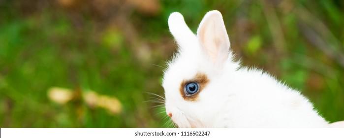 Panorama of white decortive rabbit
