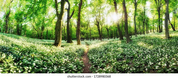 Panorama of white flowers garlic with sun at sunset in green forest, Spring landscape