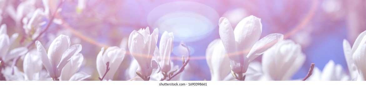 Panorama white magnolia flowers in the sun.  Magnolia flowers in the sun. Trend color white. Blue sky.  Shallow depth of field.  Spring background.