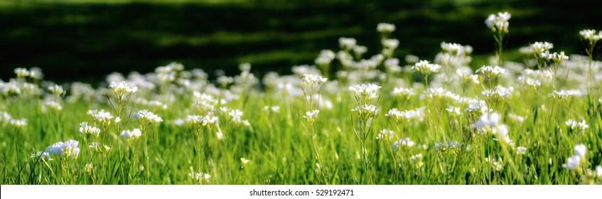 Panorama of White Pearlwort Flowers latin name Sagina Procumbens