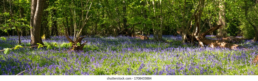 Panorama of wild bluebells beneath the trees, photographed at Pear Wood next to Stanmore Country Park in Stanmore, Middlesex, UK