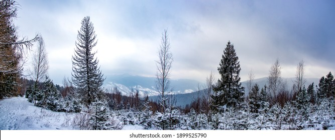Panorama of winter forest on a cloudy day in the carpathian mountains