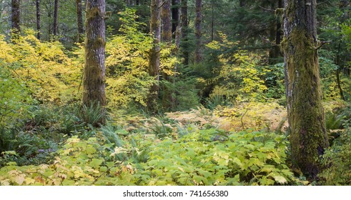 A panorama of the woods in Oregon's coast range between Corvallis and Eugene in the fall.