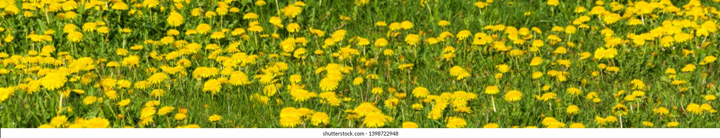 Panorama of yellow dandelions against the background of bright green grass, close-up shot.