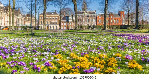 Panorama of yellow and purple corcuses in historic city Groningen